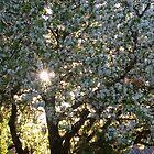 The beauty of an apple tree by Mariann Rea