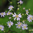 Fringed Purple Aster- Aster Ciliolatus  by Tracy Wazny