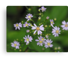 Fringed Purple Aster- Aster Ciliolatus  Canvas Print
