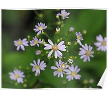 Fringed Purple Aster- Aster Ciliolatus  Poster