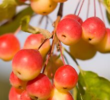 Crab apple fruits by woolleyfir