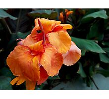 Canna flowers from A Gardener's Notebook Photographic Print