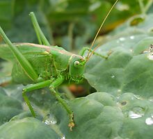 Great Green Bush Cricket by GardeningArcher