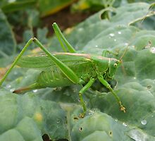Great Green Bush Cricket in full by GardeningArcher