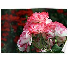 Pink Roses on Red Poster