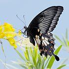 Swallowtail a by DonMc