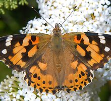 Painted Lady in all her Glory by vanStaffs
