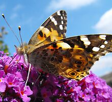 The Painted Lady Vanessa Cardui by Jrabbittigs