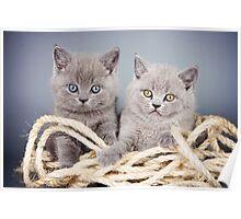 Two gray fluffy kitten Poster