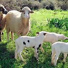 Two Ewes and Three Lambs Grazing by taiche
