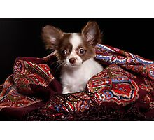 chihuahua puppy Photographic Print