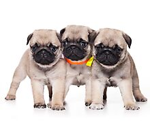 Three charming pug puppy Photographic Print