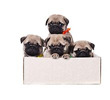 Three charming pug puppy in a box Photographic Print