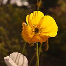 Poppy (Mt Wilson Spring 2009) by Julie Sherlock