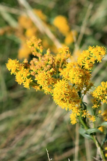 Stout Goldenrod by Alyce Taylor