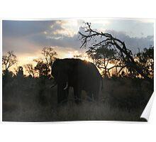 elephant sunset Poster
