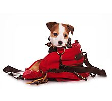 Jack Russell Terrier puppy and a red bag Photographic Print
