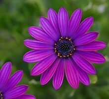 One & One Quarter of a Daisy by vanStaffs