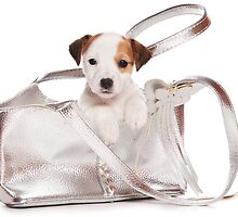 Jack Russell Terrier puppy and a bag by utekhina