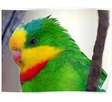 Superb Parrot Poster