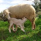 Lamb Suckling From An Ewe by taiche