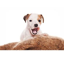 Jack Russell Terrier puppy Photographic Print