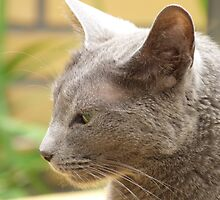 Perfect Profile Russian Blue  by DutchLumix