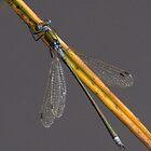 Scarce Blue-tailed Damselfly by Neil Bygrave (NATURELENS)
