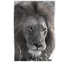 Lion Man - Photographic Nature Print Poster