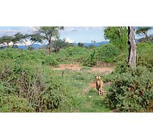 Lioness hunting Photographic Print