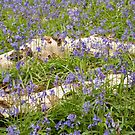 Bluebells by Christopher Cullen