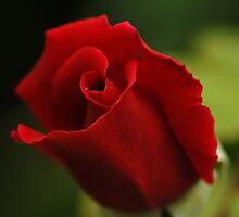 Single Rose Single Droplet. by Kerensa Davies