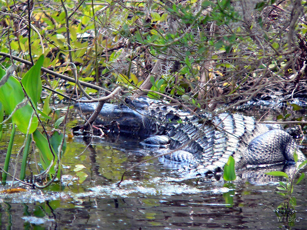 Swimming With the Gator by WTBird