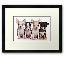 Four cute chihuahua puppy Framed Print