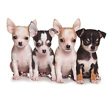 Four cute chihuahua puppy Photographic Print