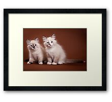 Two fluffy kitten Framed Print