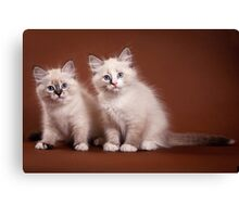 Two fluffy kitten Canvas Print