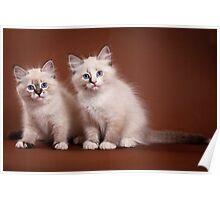 Two fluffy kitten Poster