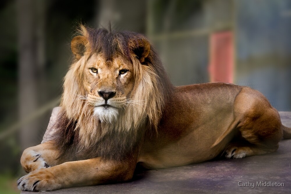 Lion by Cathy Middleton