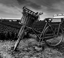 Bicycle At The Tulip Farm Netherlands by Ian Mooney