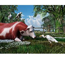 On the job training (...for Cattle Egrets) Photographic Print