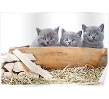 Three gray kitten Poster