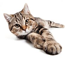 tabby cat with big paws by utekhina