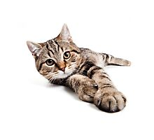 tabby cat with big paws Photographic Print