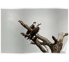 TWO OSPREY CLOSEUP Poster