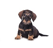 Cute Puppy dachshund Photographic Print