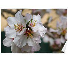 Almond Blossum 2 Poster