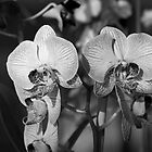 Orchids by Michael Mars