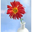 Gerbera by LouiseK