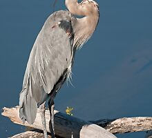 Great Blue Heron # 2  by JimGuy